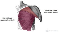 Pectoralis major muscle :-