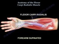 Flexor carpi radialis muscle :-