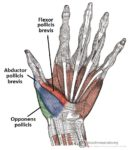 Opponens pollicis muscle :-