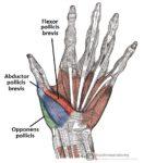 Flexor pollicis brevis muscle :-