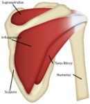 Teres major muscle :-