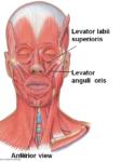 Levator anguli oris muscle :-