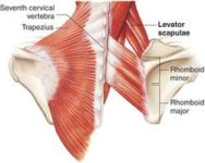 Levator scapulae muscle :-