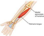 Plamaris longus muscle :-