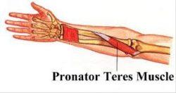 Pronator teres muscle :-