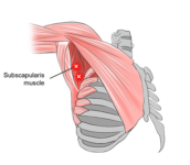 Subscapularis muscle :-