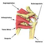 Supraspinatus muscle :-