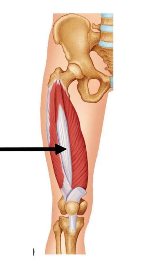 Vastus intermedius muscle :- Samarpan Physiotherapy Clinic ...