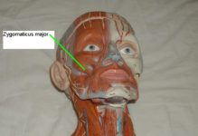 Zygomaticus major muscle :-
